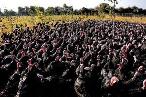 800px-Turkeys_on_pasture_at_an_organic_farm
